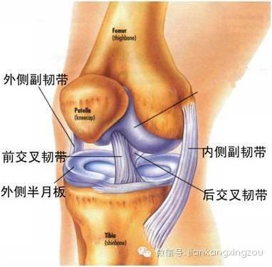 膝盖内部韧带结构图
