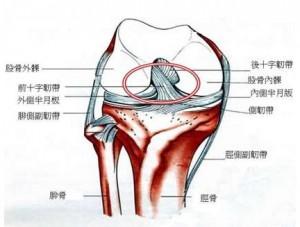 膝关节-前交叉韧带