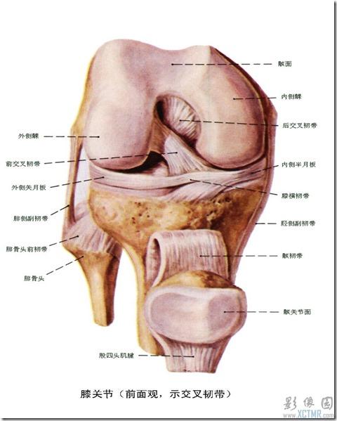 前交叉韧带解剖图6