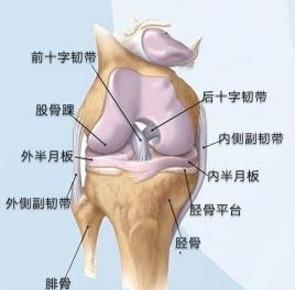膝关节构造